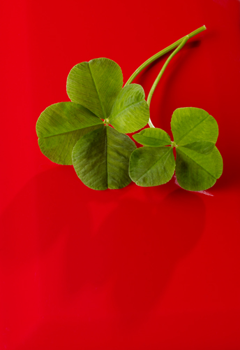 Four Leaf clover shot in studio on red background